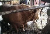 Byk rozpłodowy Charolaise Mięsny
