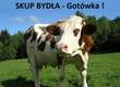 Krowy na ubój SKUPU BYDŁA - Płatność GOTÓWK
