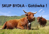 Skup BYDŁA Rzeźnego - Gotówka ! ( byk, byki, krowa, krowy