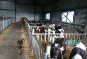 Cielaki i opasy Sprzedam byczki opasy nowa dostawa wiek od 6 tygodni...