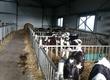 Cielaki i opasy Sprzedam byczki opasy nowa dostawa