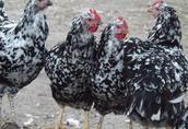 Kura Tęczówka Czernichowska - pisklaki, odchowane 8tyg, jajka lęgowe 1