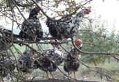 Kura Tęczówka Czernichowska - pisklaki, odchowane 8tyg, jajka lęgowe 4