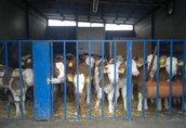Cielaki i opasy Cielęta mięsne w ciągłej sprzeda cena zależna od...