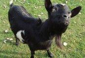 13 kóz i 2 młode capki/koziołki biało czarne i białe do sprzedania