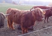 Szkocki Highlander