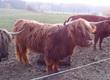 Krowy Sprzedam 2 szkockie highlandery