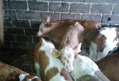 Cielęta mięsne byczki, cieliczki
