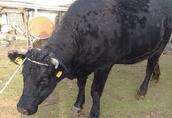 Sprzedany krowę wysokocielną mięsną