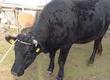 Krowy Krowa wysokocielna mięsna