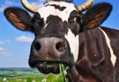 Pozostałe zwierzęta hodowlane Jałówki cielne, krowy mleczne HF- Dania, Niemcy...
