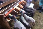 jagnięta, owce, baranki, jagniaki