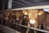 Sprzedam 50 sztuk jałówek mięsnych 75% Limousin
