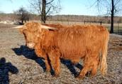 Byk Highland Cattle Rasa Szkocka Rozpłodowy Półtusza Wołowina 1