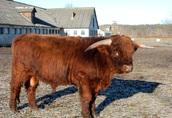 Byk Highland Cattle Rasa Szkocka Rozpłodowy Półtusza Wołowina 2