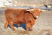 Byk Highland Cattle Rasa Szkocka Rozpłodowy Półtusza Wołowina 3