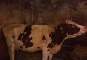 krowa simental