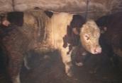 Byki na ubój trzy byki jeden simiental jeden angus jeden mm wiek...