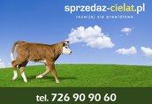 Byczki cielaki mięsne cielęta www.sprzedazcielat.pl 1