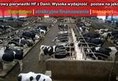 Krowy pierwiastki HF zx Danii