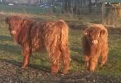Odsadki byczki jałówki rasy Highland Cattle