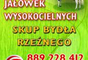 Jałówki Firma handlowa oferuję jałówki Krajowe rasy HF i...
