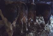 oferta sprzedaży bydła opasowego