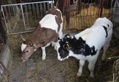 sprzedaż cieląt (byczki i jałówki)
