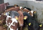Byczki rasy mięsnej - CAŁA POLSKA