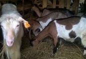 Sprzedam stado: kozy zakocone i capa, oraz 3-letnią cielną krowę