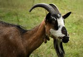 Sprzedam stado: kozy zakocone i capa, oraz 3-letnią cielną krowę 3