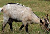 Sprzedam stado: kozy zakocone i capa, oraz 3-letnią cielną krowę 4