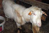 Sprzedam stado: kozy zakocone i capa, oraz 3-letnią cielną krowę 6
