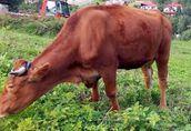 Sprzedam stado: kozy zakocone i capa, oraz 3-letnią cielną krowę 7
