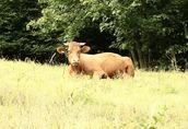 Sprzedam stado: kozy zakocone i capa, oraz 3-letnią cielną krowę 8