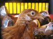 Kury nioski Kurczęta odchowane Ogólnoużytkowe