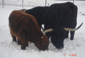 Pozostałe zwierzęta hodowlane Buhaje 3 i 2 lata, jałówki 2 lata krowy cielne...
