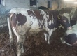 Byki na ubój do sprzedania 5-6 sztuk byków miesza