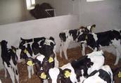 sprzedaż cieląt ras mięsnych i hf zakłady mięsne bm kobylin