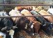 Byki na ubój 14 byków w wadze ok 750 kg 5 szt