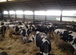 Krowy Firma Michał Zdebel EQUESTRIAN