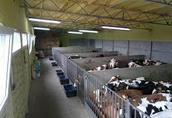 Byczki mięsne 400kg