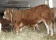 Byki rozpłodowe SPRZEDAM Byka odsadka rasy Limousin