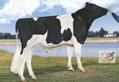 Sprzedam krowy wysokomleczne objęte użytkowością hodowlaną