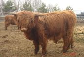 krowy szkockie sprzedam