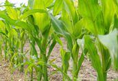 Sprzedam kukurydze suchą