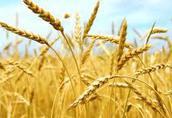 Skup zbóż paszowych