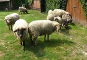 Sprzedam owce i jagnięta (również wrzosówki)