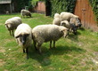 Owce Mam do sprzedania dwie jednoroczne