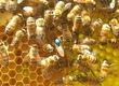 Pozostałe pszczelarstwo Matki pszczele BUCKFAST po oryginalnym